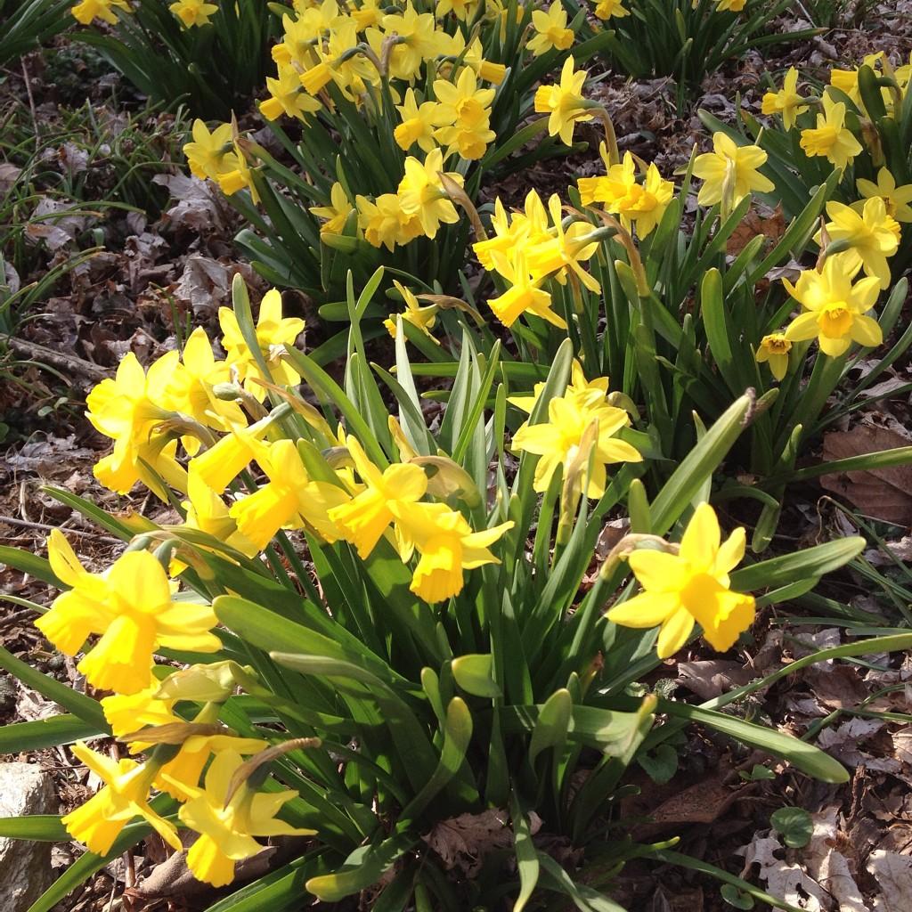 lifelately_daffodils